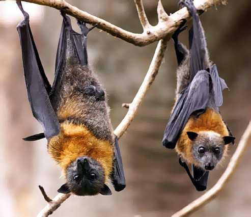 Bats Dying From White Mold Syndrome